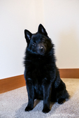 "Schipperke puppy ""Cash"" sitting on a stairwell landing in Maple Valley, Washington, USA"