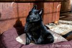 "Schipperke puppy ""Cash"" sitting in his bed in Maple Valley, Washington, USA"