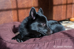 "Shy-looking Schipperke puppy ""Cash"" resting on his bed in Maple Valley, Washington, USA"