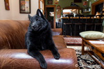 "Humorous Schipperke puppy ""Cash"" with closed eyes and a goofy expression resting on a sofa in his home in Maple Valley, Washington, USA"