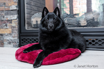 "Schipperke puppy ""Cash"" resting on a pillow in front of his fireplace  in Maple Valley, Washington, USA"