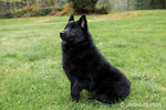 "Schipperke puppy ""Cash"" sitting in his lawn on a ""stay"" command, looking very alert in Maple Valley, Washington, USA"