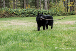 "Schipperke puppy ""Cash"" chewing on a long stick on his lawn in Maple Valley, Washington, USA"