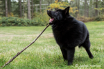 "Humorous Schipperke puppy ""Cash"" chewing on a long stick on his lawn, looking like he's using it as a big toothpick, in Maple Valley, Washington, USA"