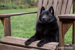 "Schipperke puppy ""Cash"" resting in a wooden lawn chair in Maple Valley, Washington, USA"