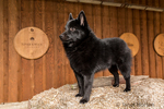 """Schipperke puppy """"Cash"""" standing on a bale of hay in a wagon in Maple Valley, Washington, USA"""