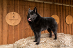 "Schipperke puppy ""Cash"" standing on a bale of hay in a wagon eager for his next treat, in Maple Valley, Washington, USA"
