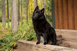 """Schipperke puppy """"Cash"""" looking very adorable standing in an antique wagon bed in Maple Valley, Washington, USA"""