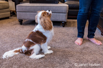 "Cavalier King Charles Spaniel puppy ""Bode"" being trained to sit in Maple Valley, Washington, USA"
