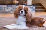 """Cavalier King Charles Spaniel puppy """"Bode"""" reclining on the carpet in Maple Valley, Washington, USA"""