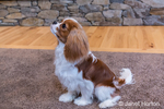 "Cavalier King Charles Spaniel puppy ""Bode"" being trained to sit and stay in Maple Valley, Washington, USA"