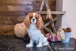 "Cavalier King Charles Spaniel puppy ""Bode"" being trained to sit and stay in front of the fireplace in Maple Valley, Washington, USA"