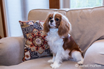 "Cavalier King Charles Spaniel puppy ""Bode"" looking very alert as he sits on a chair in Maple Valley, Washington, USA"