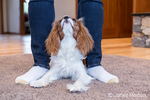"Cavalier King Charles Spaniel puppy ""Bode"" testing between the legs of his owner in Maple Valley, Washington, USA"