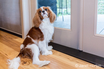 "Cavalier King Charles Spaniel puppy ""Bode"" begging to go outside in Maple Valley, Washington, USA"