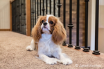 "Cavalier King Charles Spaniel puppy ""Bode"" resting on a second floor balcony in Maple Valley, Washington, USA"