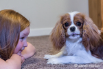 "Cavalier King Charles Spaniel puppy ""Bode"" with a comical expression, as he plays with his young owner on the floor, in Maple Valley, Washington, USA"