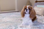 "Cavalier King Charles Spaniel puppy ""Bode"" resting on a bed in a bedroom in Maple Valley, Washington, USA"