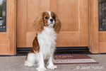 """Cavalier King Charles Spaniel puppy """"Bode"""" sitting by his front door in Maple Valley, Washington, USA"""