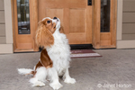 """Cavalier King Charles Spaniel puppy """"Bode"""" looking up expectantly for a treat, in front of his home in Maple Valley, Washington, USA"""