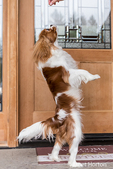 "Cavalier King Charles Spaniel puppy ""Bode"" jumping up to get a treat in front of his home in Maple Valley, Washington, USA"