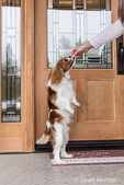 """Cavalier King Charles Spaniel puppy """"Bode"""" jumping up to get a treat in front of his home in Maple Valley, Washington, USA"""