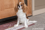 "Cavalier King Charles Spaniel puppy ""Bode"" sitting by his front door in Maple Valley, Washington, USA"