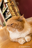 """Portrait of a purebred Exotic Shorthair domestic cat, """"Smush""""."""