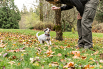 "Man training ""Lilly"", his 10 week old Australian Cattledog puppy, as she waits in anticipation of a treat, in Issaquah, Washington, USA."