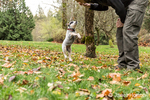 "Man training ""Lilly"", his 10 week old Australian Cattledog puppy, to jump up, in Issaquah, Washington, USA."