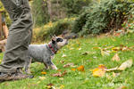 "Man training ""Lilly"", his 10 week old Australian Cattledog puppy in Issaquah, Washington, USA."