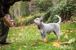 "Man training ""Lilly"", his 10 week old Australian Cattledog puppy in Issaquah, Washington, USA."