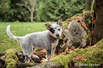 """Lilly"", a 10 week old Australian Cattledog puppy, playing around the large moss-covered tree roots in Issaquah, Washington, USA."