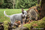 """""""Lilly"""", a 10 week old Australian Cattledog puppy, playing around the large moss-covered tree roots in Issaquah, Washington, USA."""