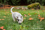 """""""Lilly"""", a 10 week old Australian Cattledog puppy, tracking a scent in her yard in Issaquah, Washington, USA."""