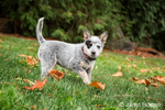 """Lilly"", a 10 week old Australian Cattledog puppy, playing in her yard in Issaquah, Washington, USA."
