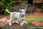 """""""Lilly"""", a 10 week old Australian Cattledog puppy, playing on a large rock with a small Redcedar pinecone in her mouth, in Issaquah, Washington, USA."""