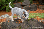"""Lilly"", a 10 week old Australian Cattledog puppy, playing on a large rock, in Issaquah, Washington, USA."