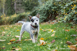 """""""Lilly"""", a 10 week old Australian Cattledog puppy posing in her yard in Issaquah, Washington, USA."""