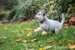 """Lilly"", a 10 week old Australian Cattledog puppy joyfully playing in her yard in Issaquah, Washington, USA."