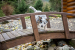 """""""Lilly"""", a 10 week old Australian Cattledog puppy curiously investigating a footbridge in Issaquah, Washington, USA."""