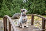 """Lilly"", a 10 week old Australian Cattledog puppy sitting on a footbridge in Issaquah, Washington, USA."
