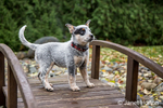 """""""Lilly"""", a 10 week old Australian Cattledog puppy standing on a footbridge in Issaquah, Washington, USA."""