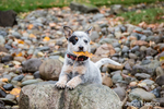 """""""Lilly"""", a 10 week old Australian Cattledog puppy posing with a leaf """"treasure"""" in her mouth in a dry streambed in Issaquah, Washington, USA."""