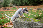 """Lilly"", a 10 week old Australian Cattledog puppy struggling to climb on top of a rock in Issaquah, Washington, USA."