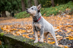 """Lilly"", a 10 week old Australian Cattledog puppy posing on a stone wall in Issaquah, Washington, USA."