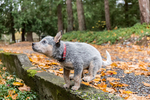 "Funny ""Lilly"", a 10 week old Australian Cattledog puppy caught mid-air jumping onto a stone wall in Issaquah, Washington, USA.  The Australian Cattle Dog (ACD), Queensland Heeler or simply Cattle Dog, is a breed of herding dog originally developed in Australia for droving cattle over long distances across rough terrain."