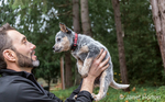 """Man holding """"Lilly"""", his 10 week old Australian Cattledog puppy in Issaquah, Washington, USA.  The Australian Cattle Dog (ACD), Queensland Heeler or simply Cattle Dog, is a breed of herding dog originally developed in Australia for droving cattle over long distances across rough terrain."""
