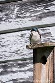 Tree Swallow on top of its nesting box at Nisqually National Wildlife Refuge, Nisqually, Washington, USA