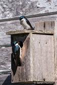 Pair of nesting Tree Swallows at Nisqually National Wildlife Refuge, Nisqually, Washington, USA